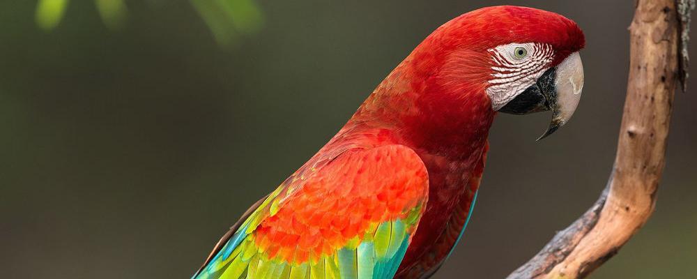 индивидуальная кремация попугая